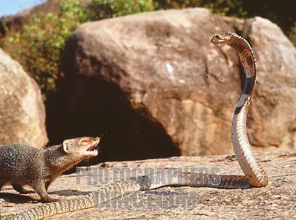 Mongoose_And_Snake
