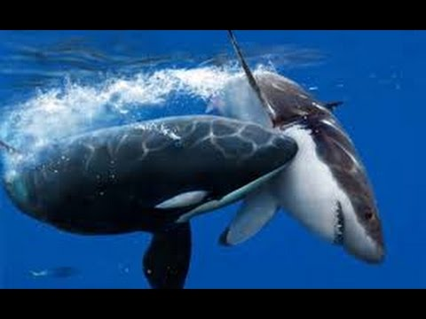 Orca_And_White_Shark